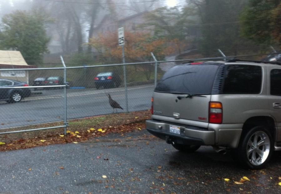 Turkey on road in Auburn, CA