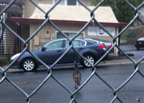 Turkey in road, Auburn, CA